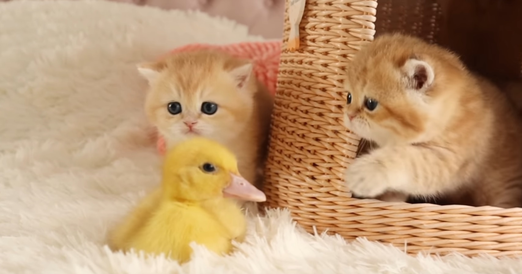 Cute Kittens And Chick