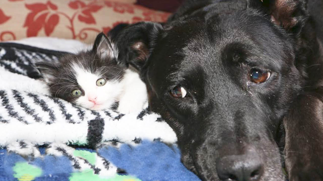 This gentle dog really knows how to deal with her foster kittens
