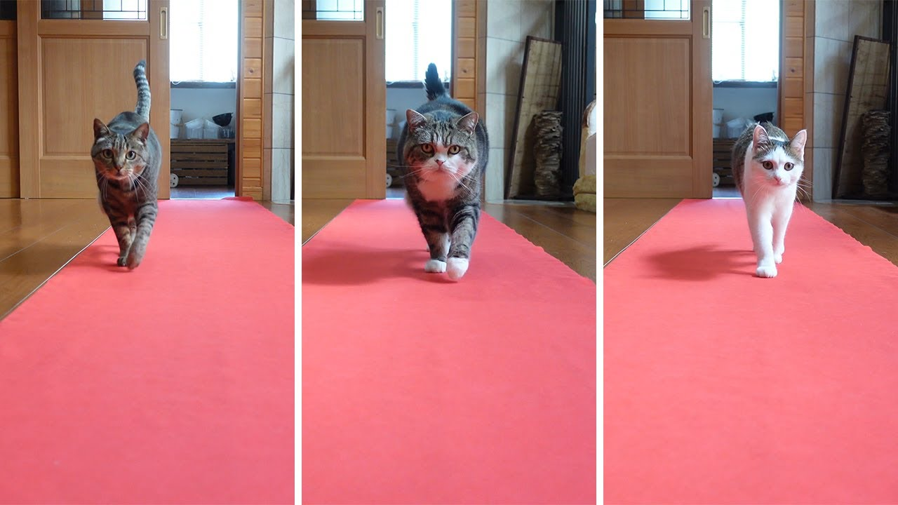 Cats Walk On Red Carpet