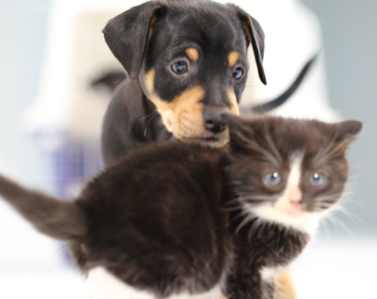 Kitten Meet Puppies For The First Time