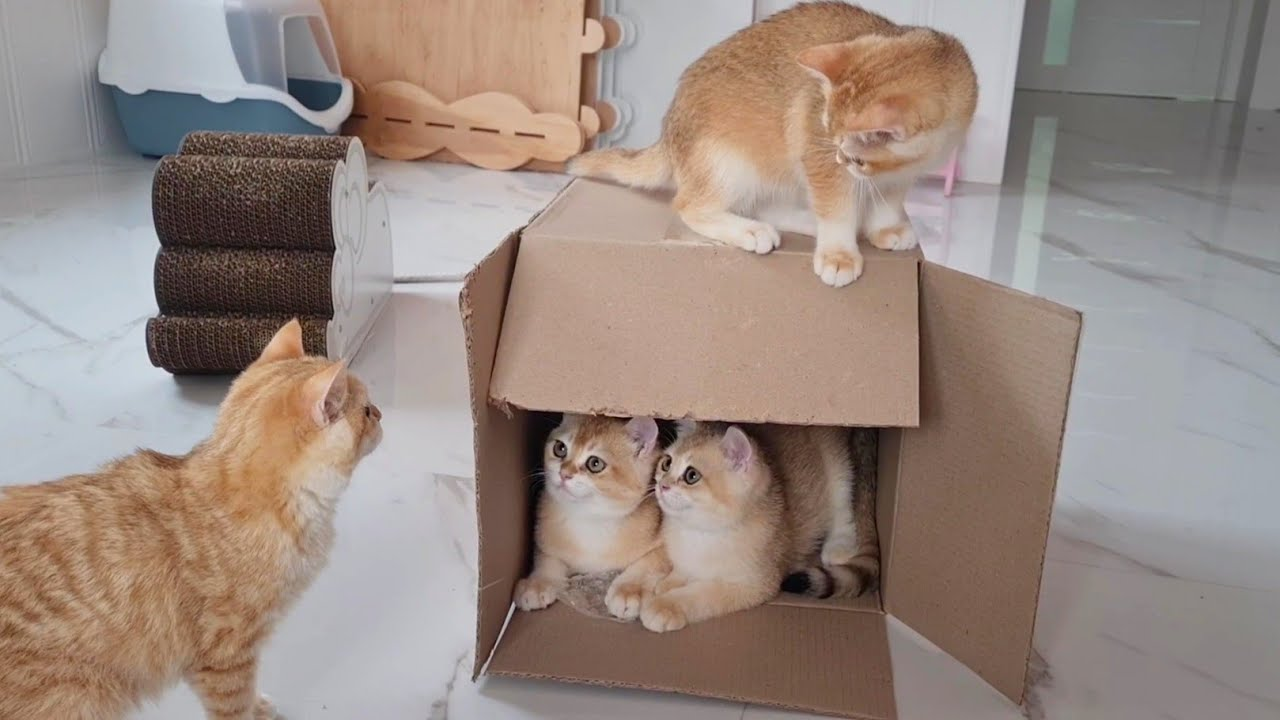 Cute Cats Play With  A Cardboard Box