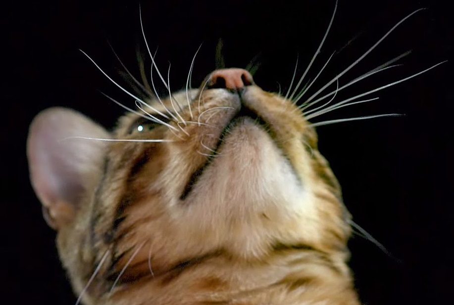 How do Cats Use Their Whiskers?