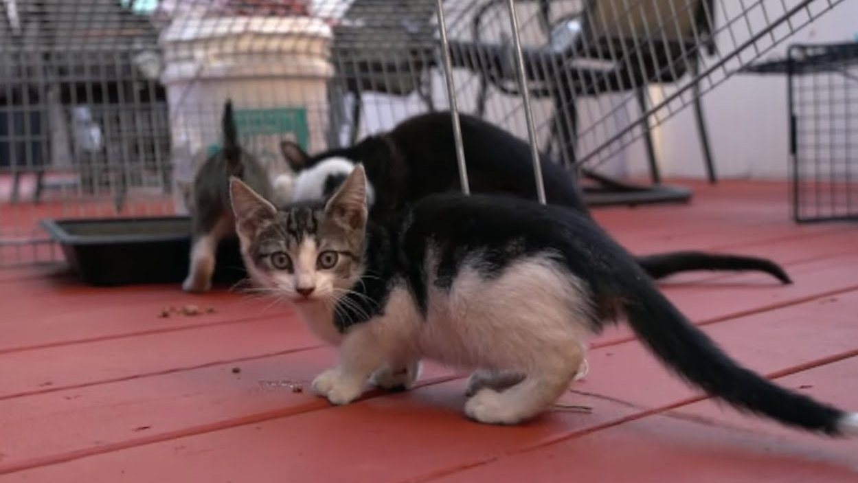 Socializing and fostering three feral kittens
