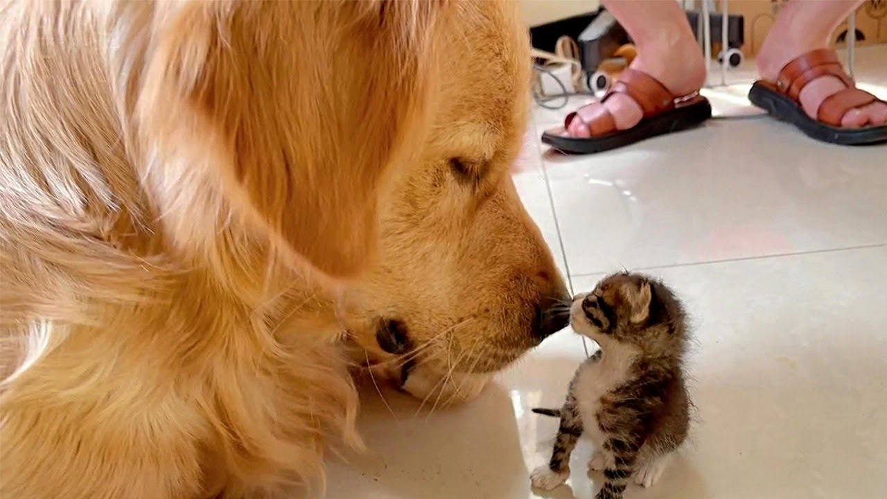 Golden Retreiver And Kitten Sweet Moments
