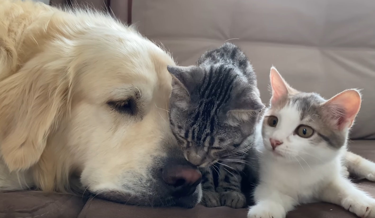 Golden Retriever Is Good Friend With Cats
