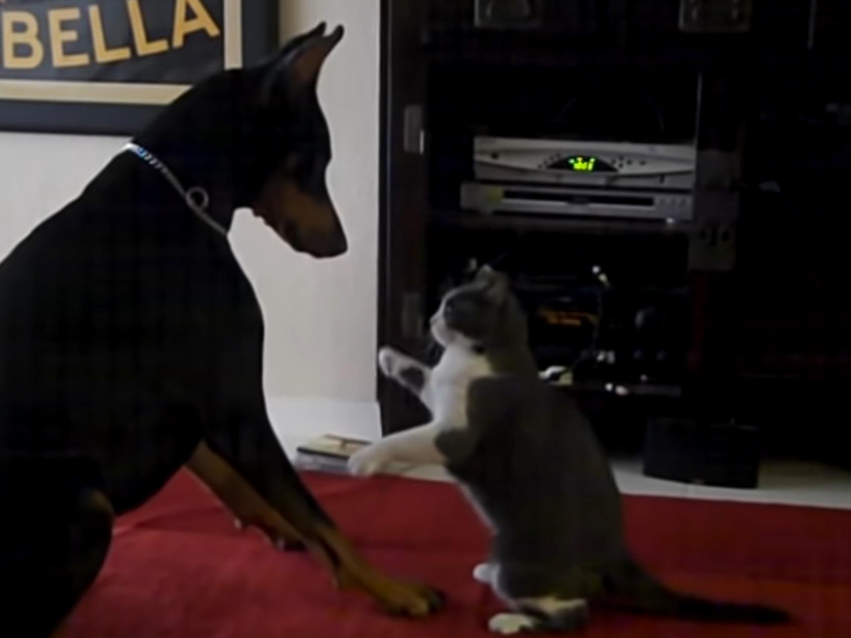 Cat Vs Doberman