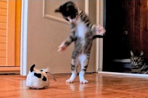 Kitten Versus Robotic Dog & Adult Cat