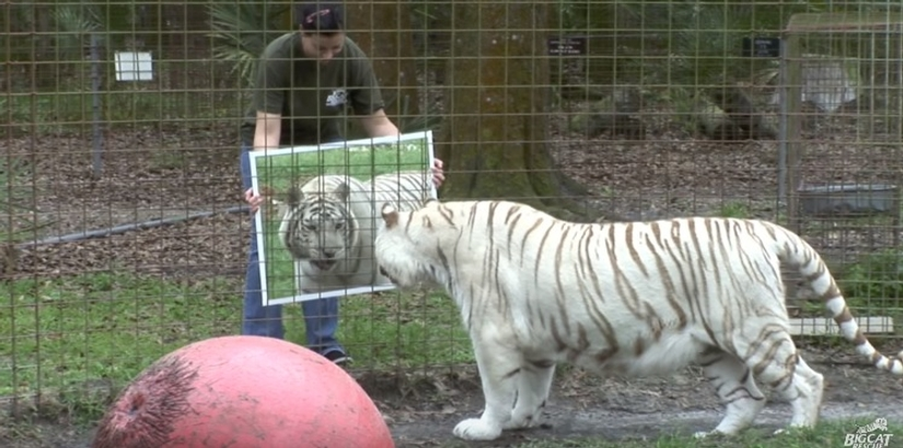Big Cats And Mirrors