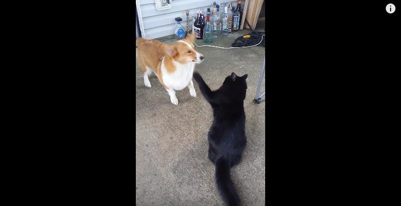 Cat Bombards Corgi With Slaps