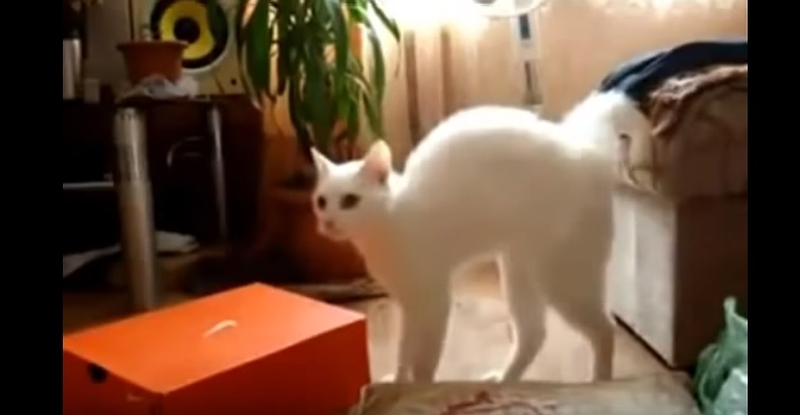 Funny Cat Walks On Two Legs