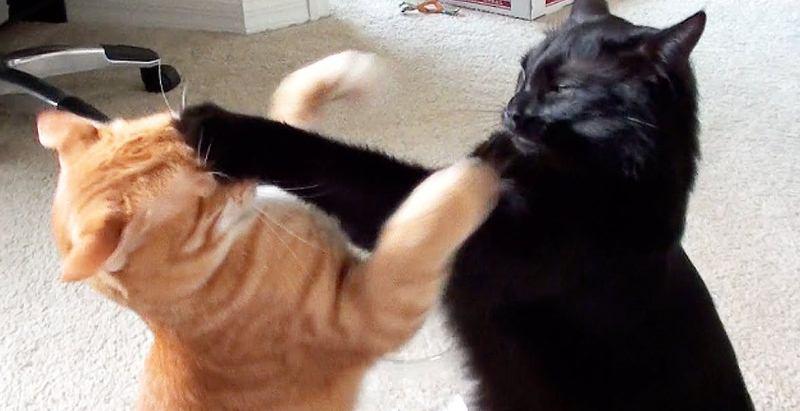 Epic Cat Fight Compilation