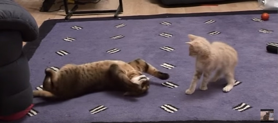 Bengal Cat Meets Kitten For The First Time
