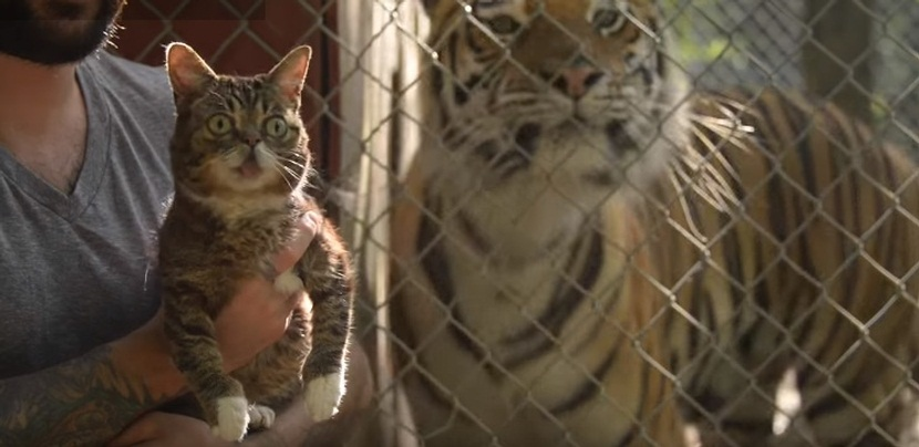 Bub Meets Tigers
