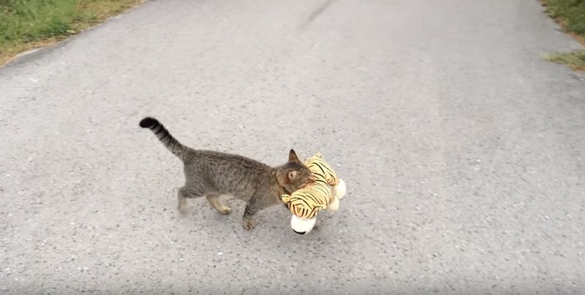 This Cat Went To The Neighbours To Borrow A Tiger Plush Toy