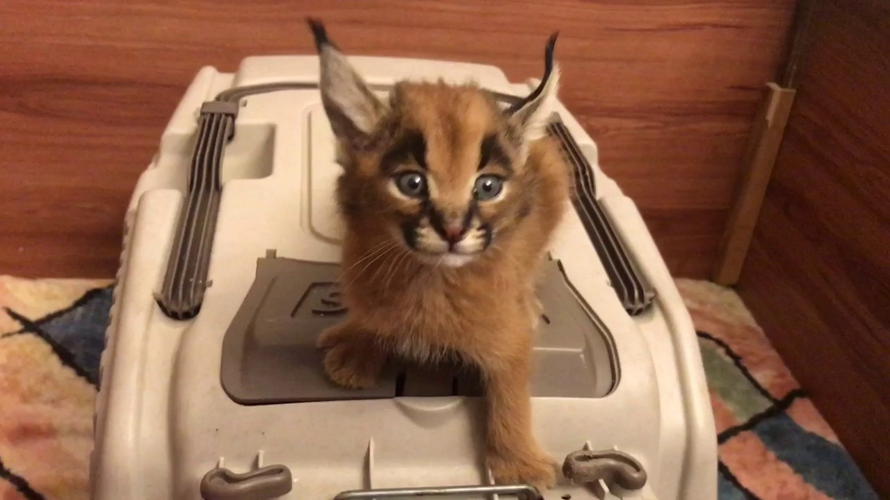 Caracal Cat Screams for Food