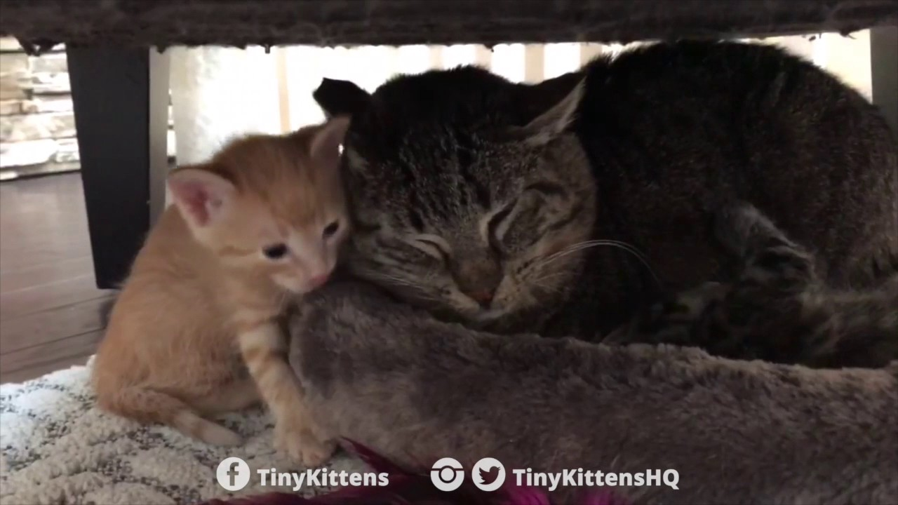 Ancient battle-scarred feral cat meets tiny kittens