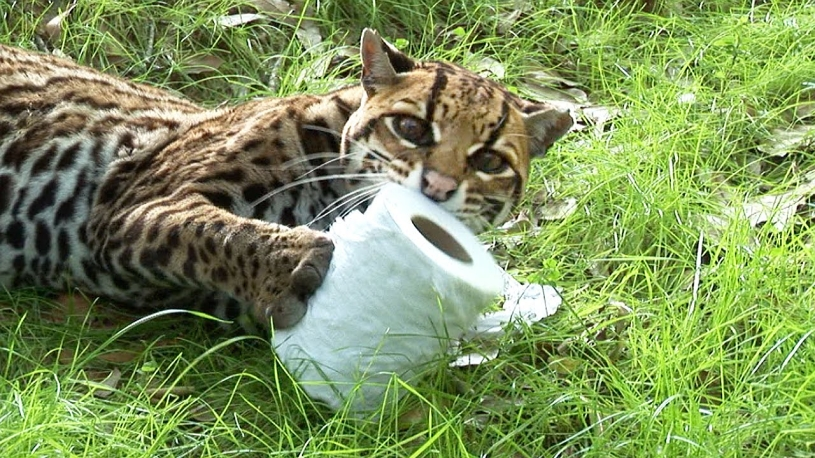 Wild Cats VS Toilet Paper!