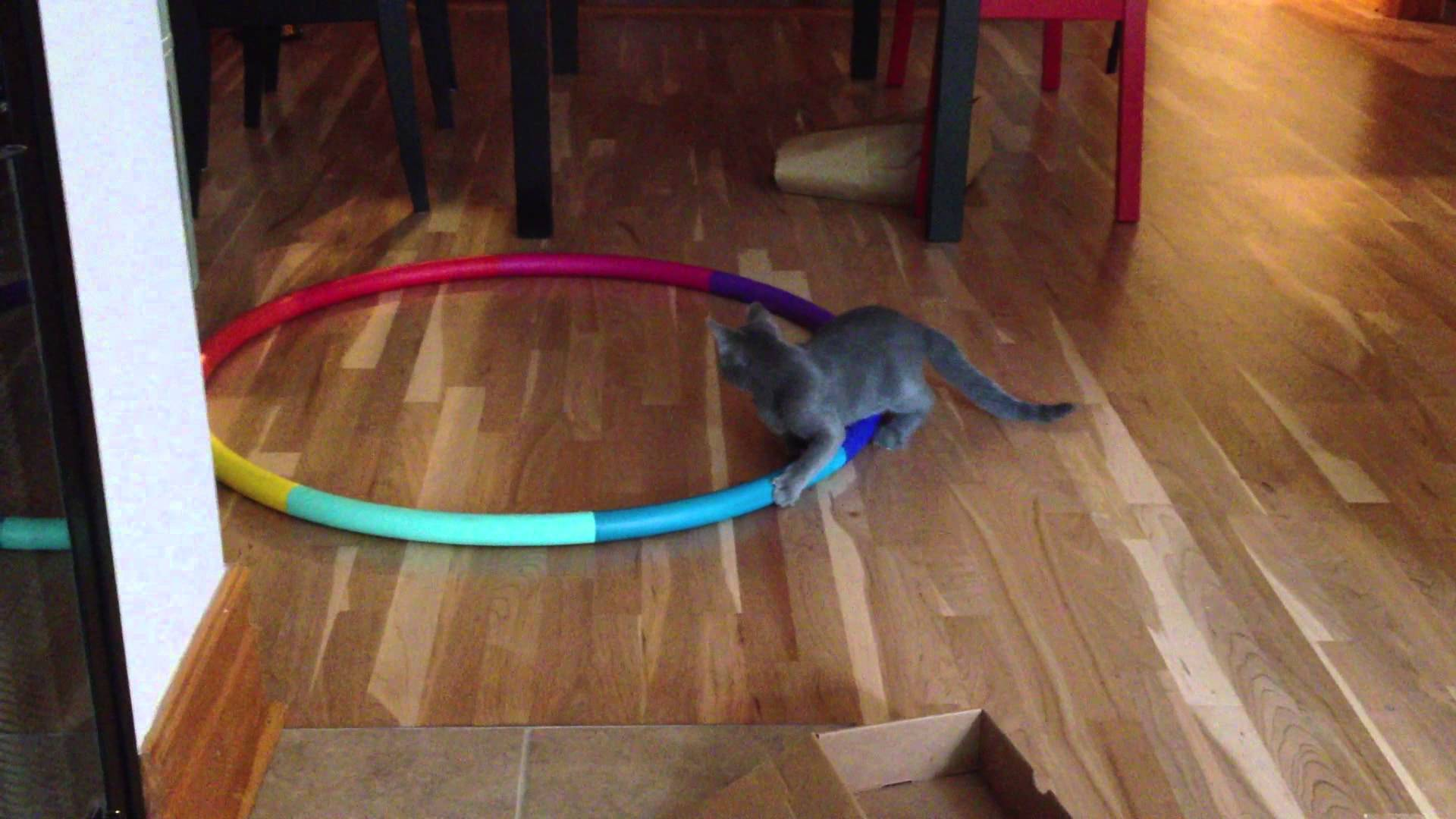 Cat going crazy on Hula Hoop