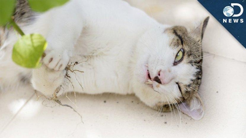 How Catnip Gets Cats High