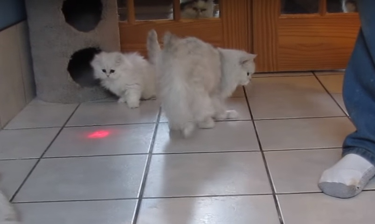Fluffy cats chasing a laser pointer