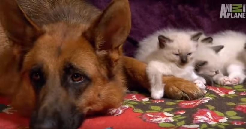 Kittens Befriend German Shepherd
