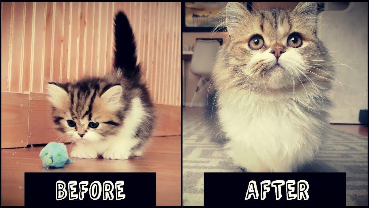 A munchkin kitten growing up