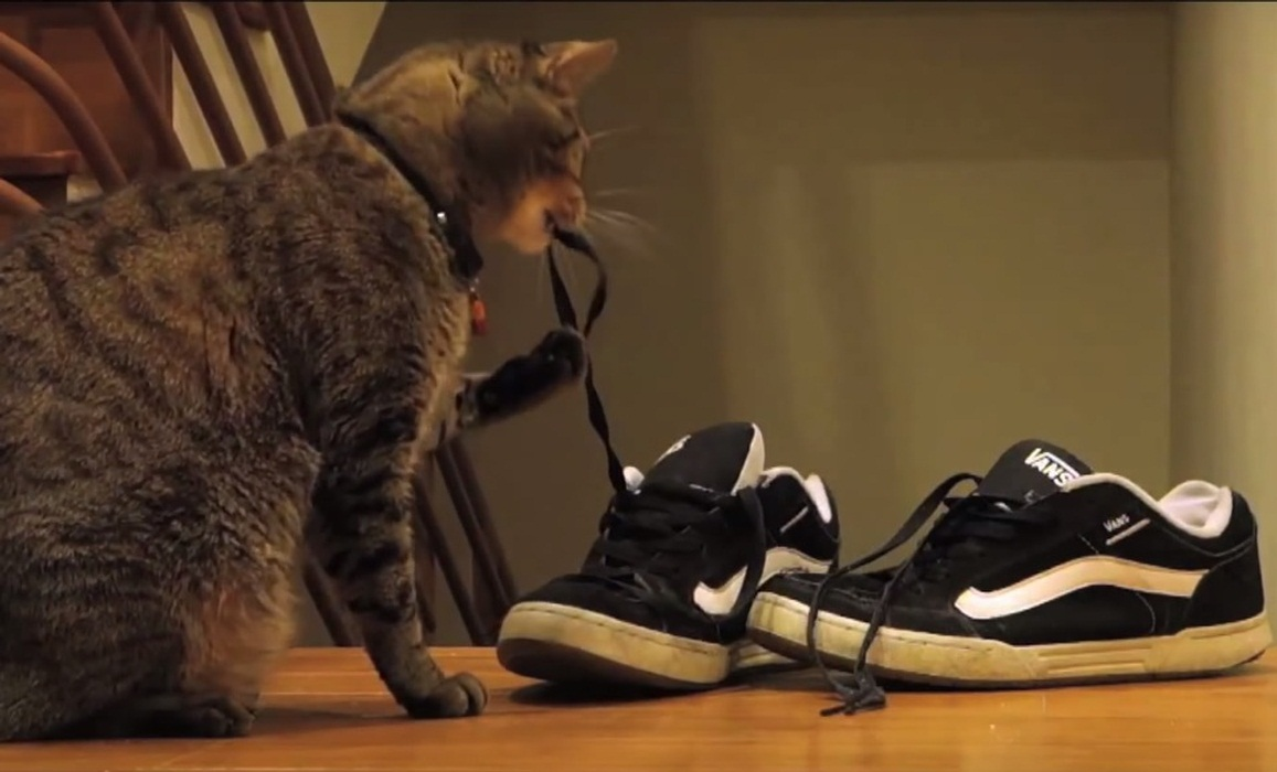Kitty playing with shoe laces