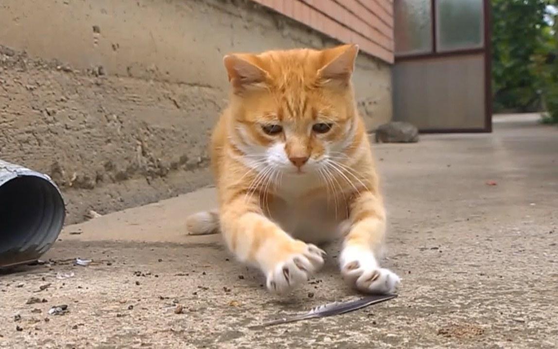 Munchkin Cat vs Feather