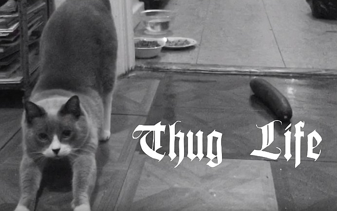 Thug Life Cat Vs Cucumber