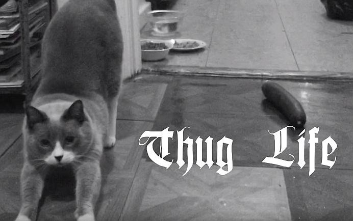 Thug Life Cat Vs Cucumber