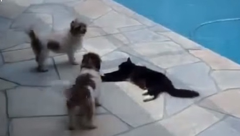 Cat Pushes Dog The Pool - The Translation
