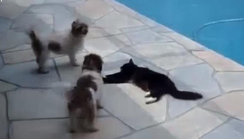 Cat Pushes Dog The Pool - The Translation