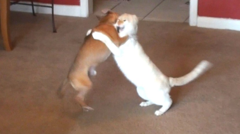 Cat And Dog Wrestling Competition