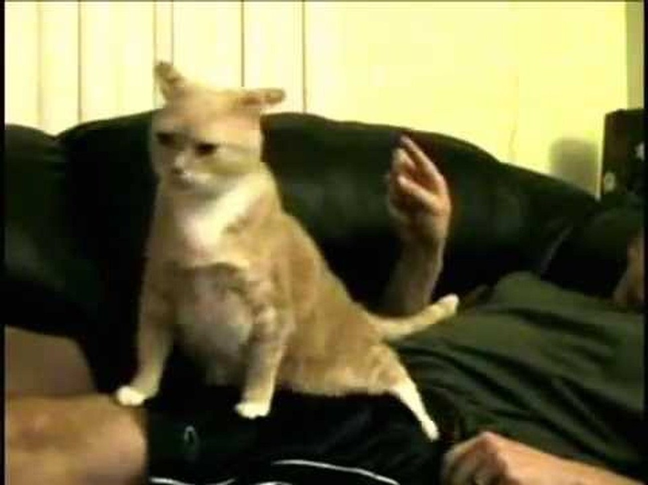 Cat has funny reaction when gets it's but scratched
