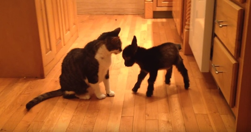 Cute Baby Goat Wants To Play With Cat