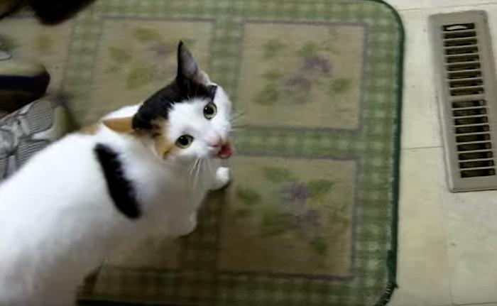 Cute Cat Meowing