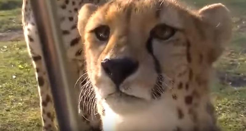 Cheetahs Greeting Human