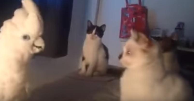 Cockatoo Trolling Cats