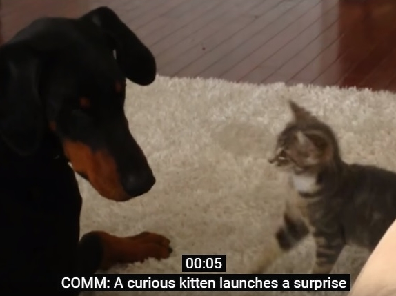 Kitten Meets Doberman For First Time