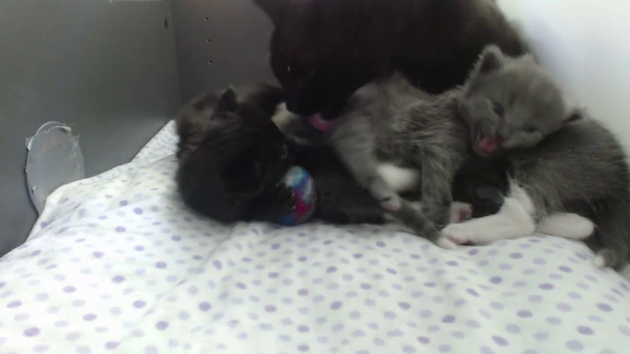 Mom cat waking up her kittens