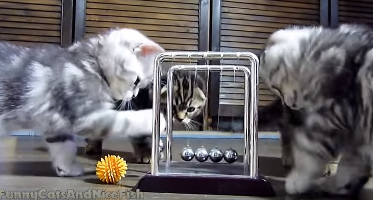 Cute Kittens Playing With Newton's Craddle