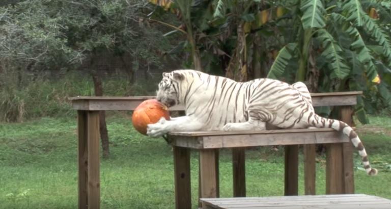 Big Cats Halloween