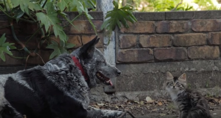 Dog And Cute Wobbly Kitten Become Friends