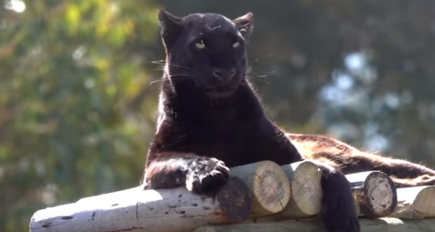 Pardus The Scary/Cute Black Panther