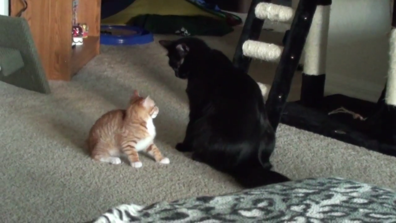 Brave kitten takes on big cat!
