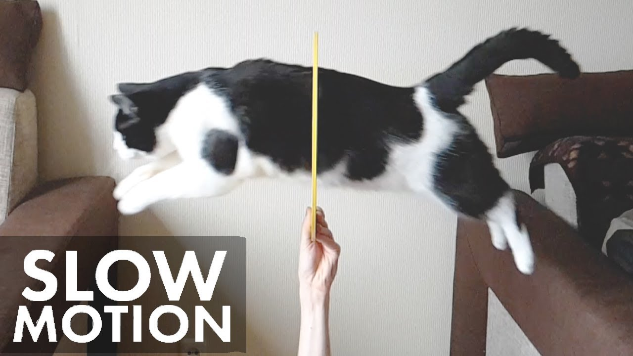 Cat jumps through the hoop in slow motion