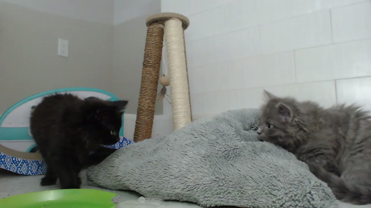Cute kittens having fun with each other and playing with a blanket