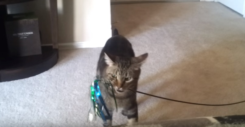 Cute Kitty Drops Toy And Starts Complaining