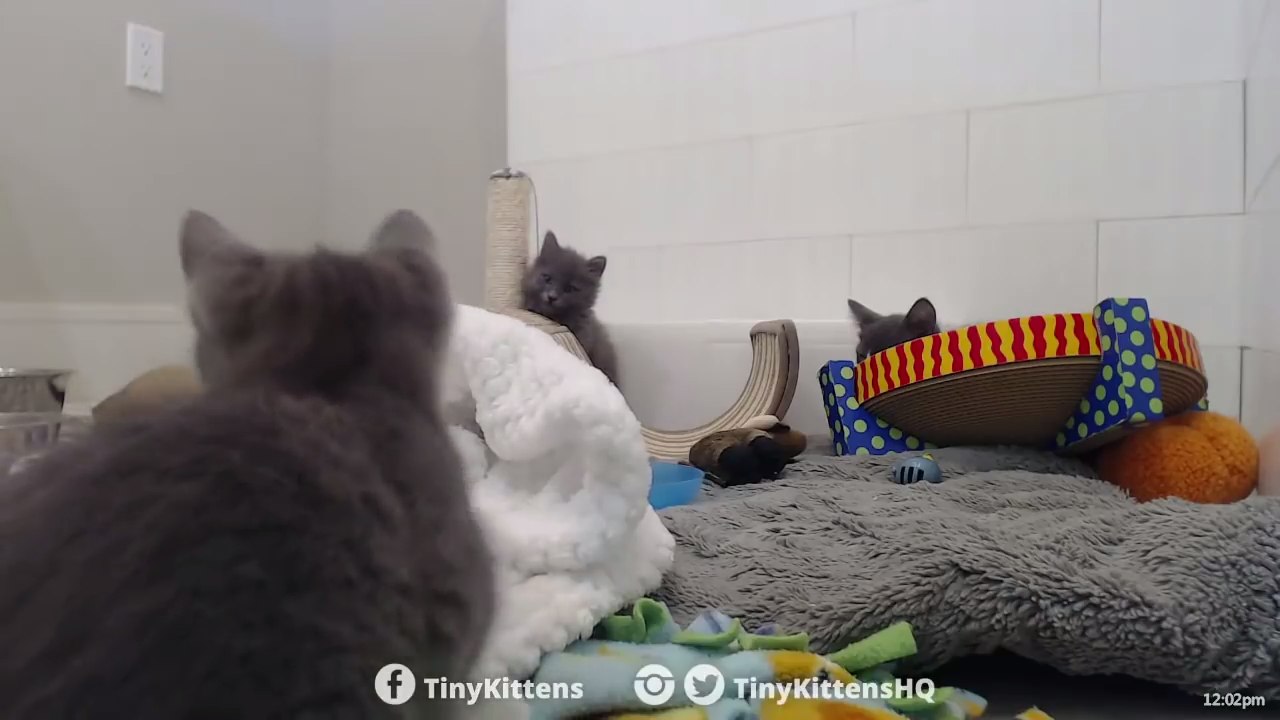 Kitten ferociously growling while attacking a blanket