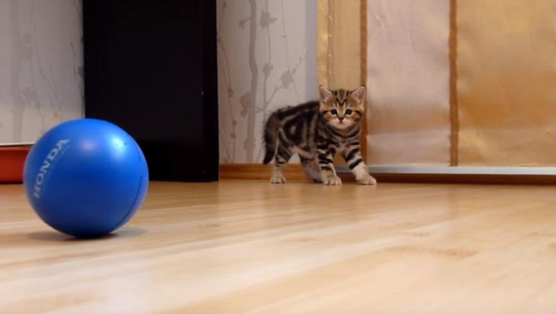Meet Paris, The Cutest And Most Playful Kitten